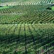 Wineyard_Slavonija_Damir-Fabijanic-004-2015-10-22-_-11_40_39-80